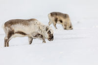 Wild Svalbard Reindeer, Rangifer tarandus platyrhynchus, two animals searching for food under the snow