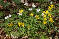 Blüten und Blätter des Gelben Windröschens und des Buschwindröschens