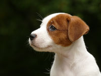 Beautiful male terrier puppy outdoors in park