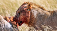 Löwe mit blutigem Gesich am Riss, Etosha-Nationalpark, Namibia, (Panthera leo) | lion with a bloody face, Etosha National Park, Namibia, (Panthera leo)