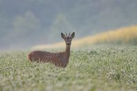 Roe dee, capreolus capreolus, buck in the field covered in dew.