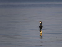 Great cormorant, Phalacrocorax carbo, standing peacefully on the lake