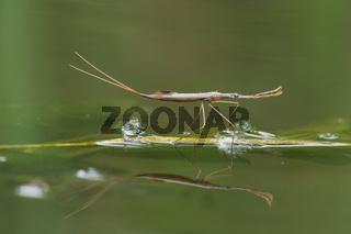 Stabwanze (Ranatra linearis) mit Spiegelung