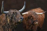 schottische Hochlandrinder Stiere
