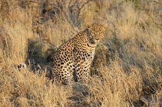 Leopard (Panthera pardus) , Khomas Region, Namibia, Afrika