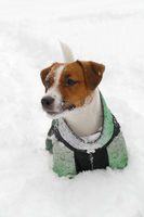 White Jack russell terrier outdoors portrait in deep snow