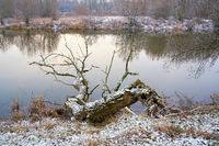 abgestorbener Baum am Ufer des Flusses Alte Elbe bei Magdeburg