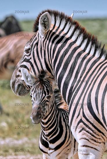 Junges Zebra, Steppenzebra, Etosha, Namibia