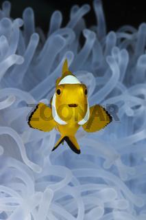 Juveniler Orange-Ringel-Anemonenfisch weisser Anemone