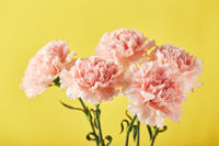 Bouquet of pink carnations. Design concept of holiday greeting with carnation bouquet on yellow background
