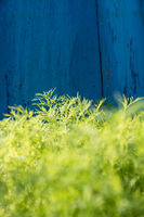 Green herbs grow upright on a blue wooden wall