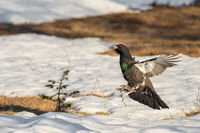 Male Capercaillie - Tetrao urogallus - jumping as part of display at the lek site. Norway