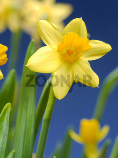 Fresh garden daffodils over blue sky