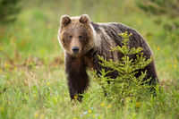 Brown bear standing in forest in summertume nature