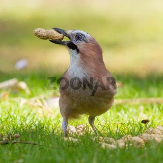 A Jay bird (Garrulus glandarius)