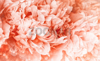 Peony flower with soft  light background
