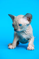 Sweet hairless kitten of Canadian Sphynx Cat breed standing on blue background
