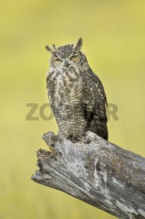 Majestic Great horned owl in Idaho.