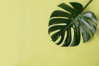 Flat lay with Monstera palm green leaf on light green background