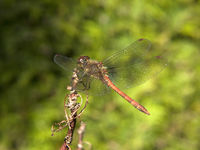 Gefleckte Heidelibelle  - yellow-winged darter