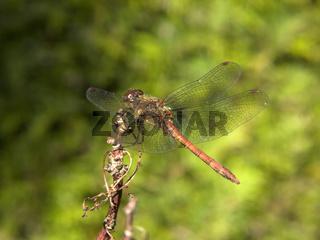 Gefleckte Heidelibelle  - yellow-winged darter