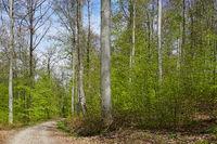 Lichter Buchenwald im Frühling
