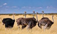 Straußenfamilie, Etosha, Namibia | ostriches, Etosha, Namibia