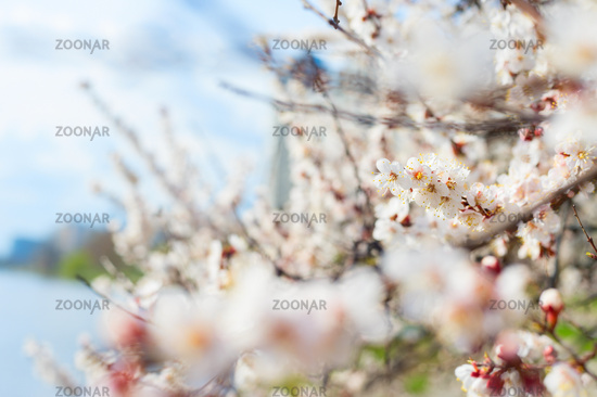 tree spring blossom flowers, background