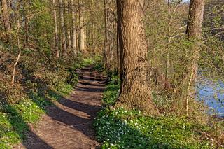 Wanderweg durch Laubwald mit Buschwindröschen