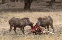 Wild boars busy eating Carcass, Ranthambhore, Rajasthan, India