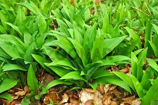 Bärlauch, Allium ursinum, wild garlic, bear leek, nur Blätter vor der Blüte