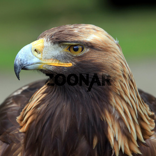 The head of Golden Eagle