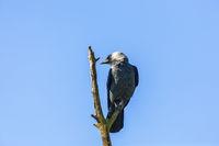 Jackdaw bird on a treetop