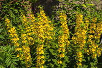 Blooming yellow loosestrife bush in the garden