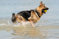 Young happy German Shepherd, playing in the water. The dog splashes runs and jumps happily in the lake. Yellow tennis ball in its mouth.
