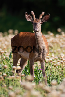 Young male of red deer eating on poppy field in summer alone.