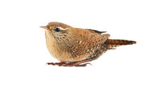 Wren. Isolate on white background
