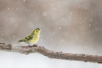 Erlenzeisigmännchen im Schneetreiben