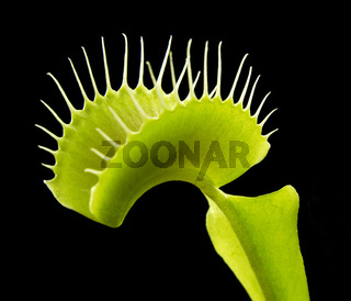 carnivorous plant detail