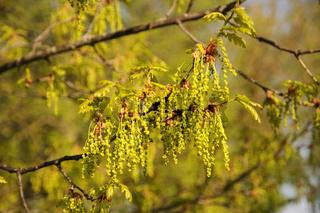 Quercus robur, Stieleiche, German oak