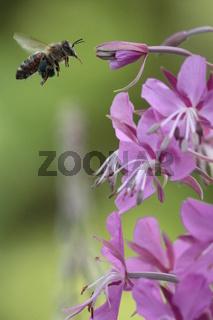 Biene fliegt Weidenröschen an