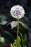 Close-up of a Dandelion (Taraxacum) seed head in a field near East Grinstead