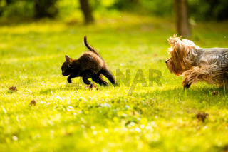 Small doggy chasing cute black kitten on the lawn