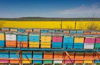 Hives in flowering yellow rape field