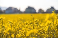 Blooming canola rapeseed blossoms at evening, summer. Biofuel concept.
