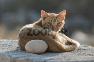 Hauskatze liegt auf Mauer, cat resting on a wall, Kykladen
