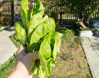 A woman's hand holds a freshly cut bunch of young green spinach, outdoors, bright sunlight and shadows, close-up