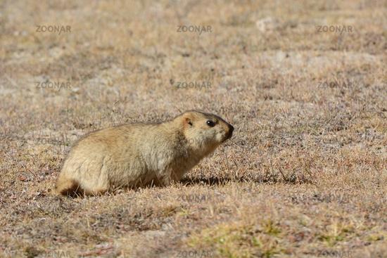 Marmot, Marmota flaviventris, Ladakh, Jammu Kashmir, India