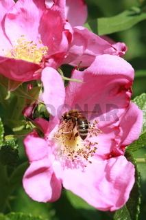 Wild Rose mit Biene