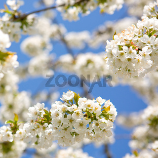 Branches of blossoming cherry with soft focus .